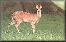 Chinese Water Deer (Hydropotes inermis)