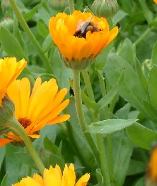 bee on calendula flower