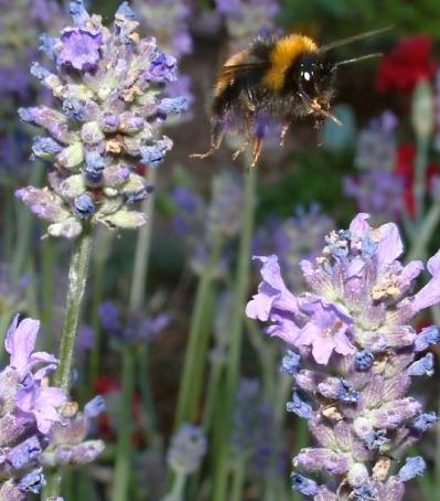 bee amongst lavender flowers